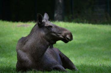 Два браконьера убили лосиху вЛенобласти