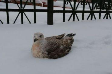 Петербурженка нашла раненую чайку ивзяла еесебе довыздоровления