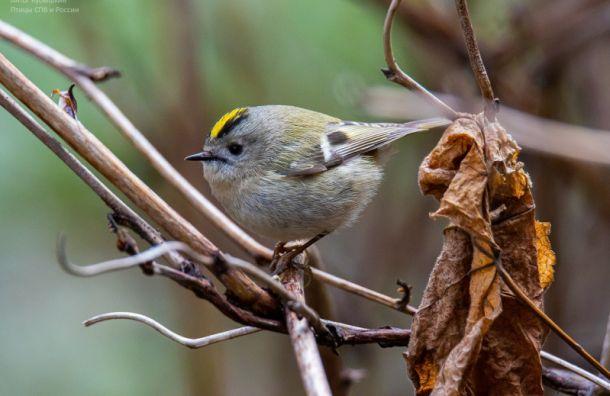 «Чудо вперышках»: вПетербурге заметили самую маленькую птицу России иЕвропы