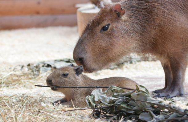 Ленинградский зоопарк показал новорожденного детеныша капибары