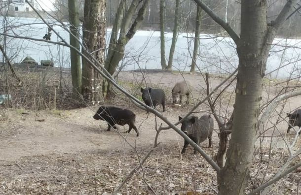 Вблизи жилых домов Приморского района заметили семейство кабанов