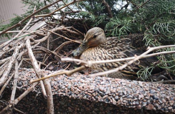Живая страничка Павла Глазкова: утка свила гнездо возле метро вПетербурге