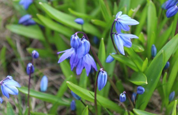 Весна пришла: вМихайловском саду распускаются редкие цветы