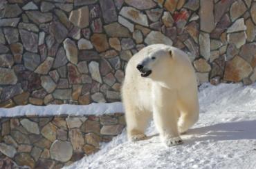 ВЛенинградском зоопарке умерла белая медведица Услада