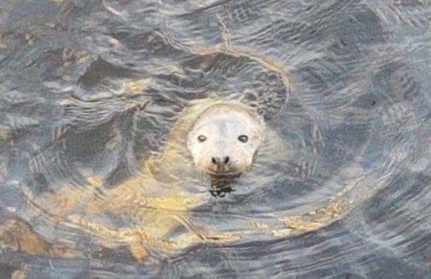 Нальду уНовой Голландии заметили исхудавшего тюлененка