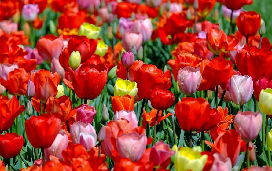 tulips-1321025_1280.jpg