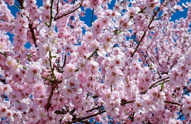 Петербуржцы запечатлели цветение сакуры наЛитейном проспекте