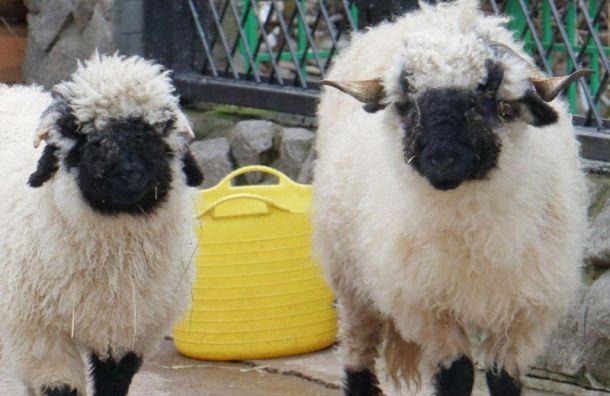 «Прическа меняет облик»: овцы изЛенинградского зоопарка подготовились клету