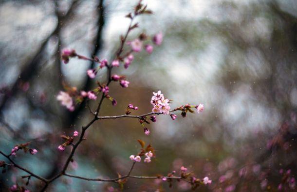 ВБотаническом саду начала распускаться сакура