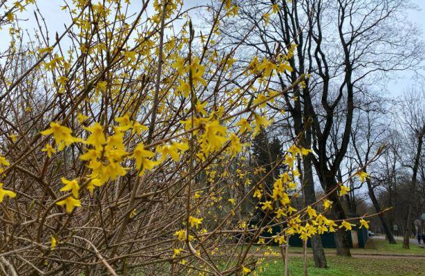 Золотисто-жёлтые форзиции зацвели вПетербурге