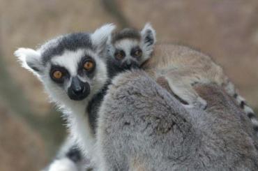 Новорожденный лемур изЛенинградского зоопарка учится лазить поветвям