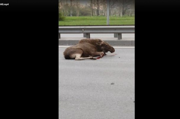 Автолюбитель сбил лося наПулковском шоссе