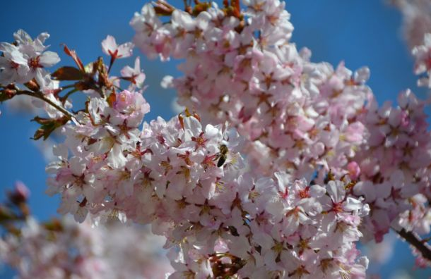 Ботанический сад ищет волонтеров для охраны сакуры