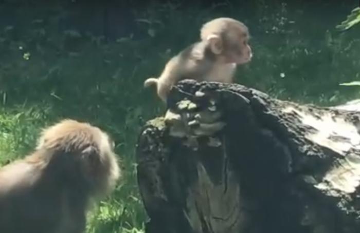 ВЛенинградском зоопарке уяпонских макак родился детеныш