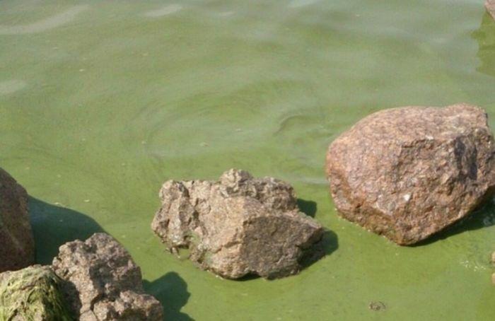 Финский залив позеленел из-за аномальной жары