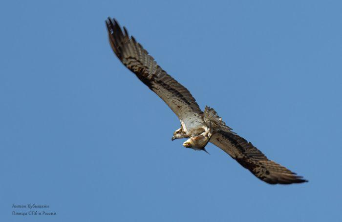 Фотограф запечатлел, как скопа летит сдобычей