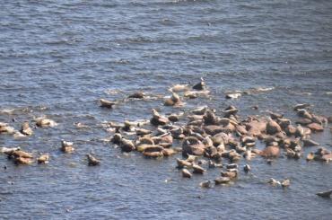 Петербуржцам предложили помочь посчитать серых тюленей