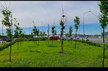 «Классика озеленения»: петербуржцы пожаловались назасохшие саженцы