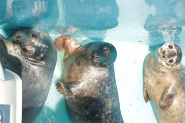 Четырех спасенных тюленей выпустили вФинский залив своенного корабля