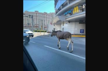 «Забежал перекусить»: наКомендантской площади заметили испуганного лося