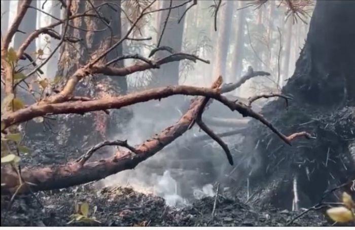Спасатели больше суток тушат лесной пожар вСосновом Бору