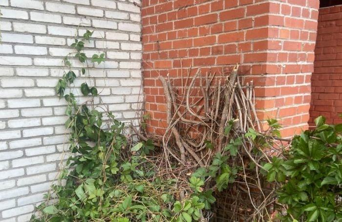 Стену издикого винограда разрушили вПриморском районе