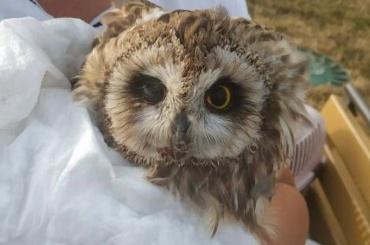 Горожане спасли сову сосломанным крылом вКолпинском районе