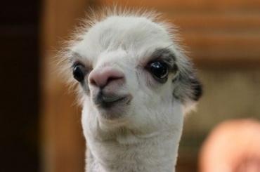 ВЛенинградском зоопарке родилась альпака Шарлотка