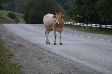 Коровы перешли дорогу вице-губернатору