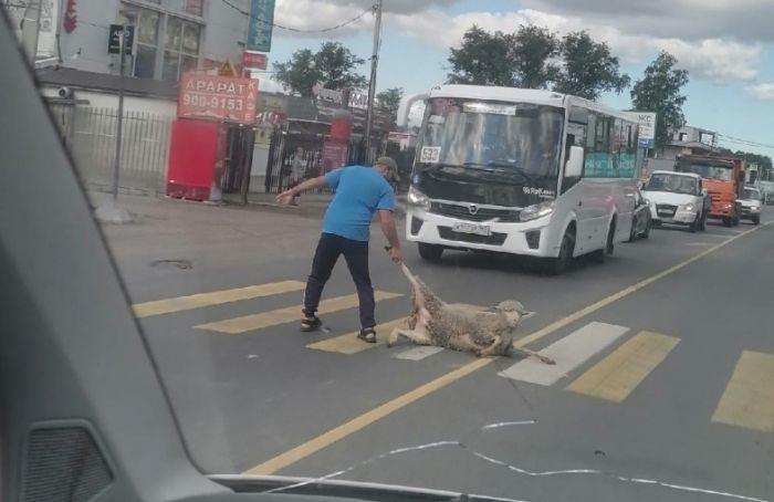 Мужчина тащил заногу овцу попешеходному переходу вЯнино