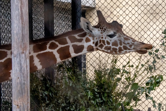 Зоопарк_жираф_ZOV_80867.jpg