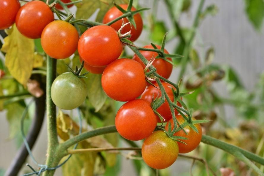 tomatoes-4434850_1280.jpg