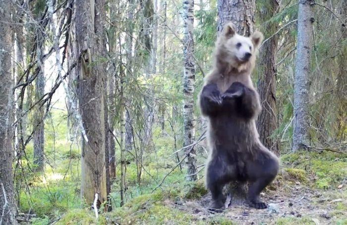 Медведь станцевал ламбаду взаповеднике