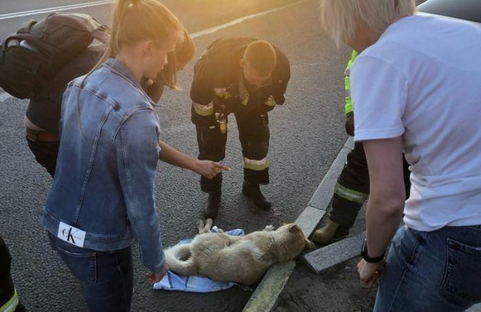 Петербуржец спас сбитую надороге бездомную собаку