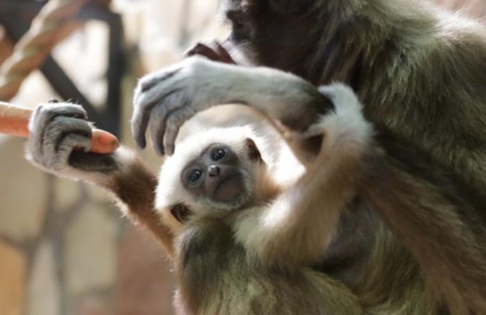 Ленинградский зоопарк объявил конкурс налучшее имя для гиббона