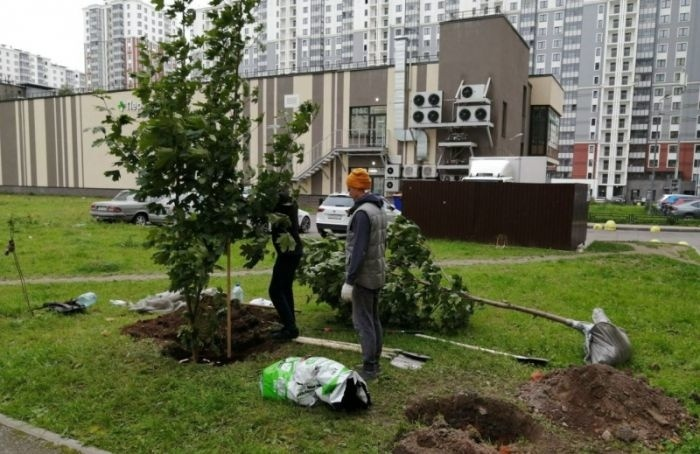 Жители Невского района пересадили клены, чтобы спасти ихотвырубки