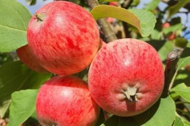 Топиарный сад в«Монрепо» откроют наодин день для раздачи яблок игруш
