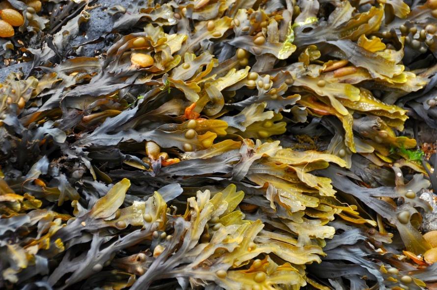 seaweed-270426_1280.jpg