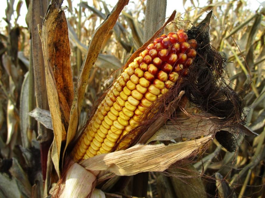 corn-1794085_1280.jpg
