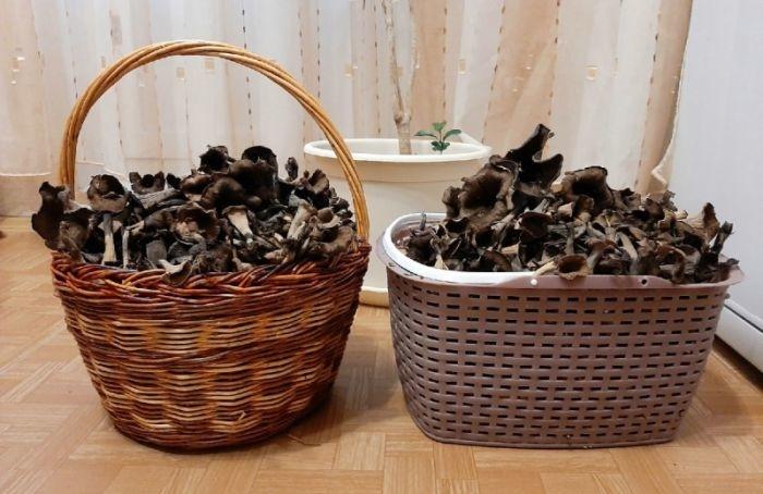 Петербургские грибники нашли редкие черные лисички
