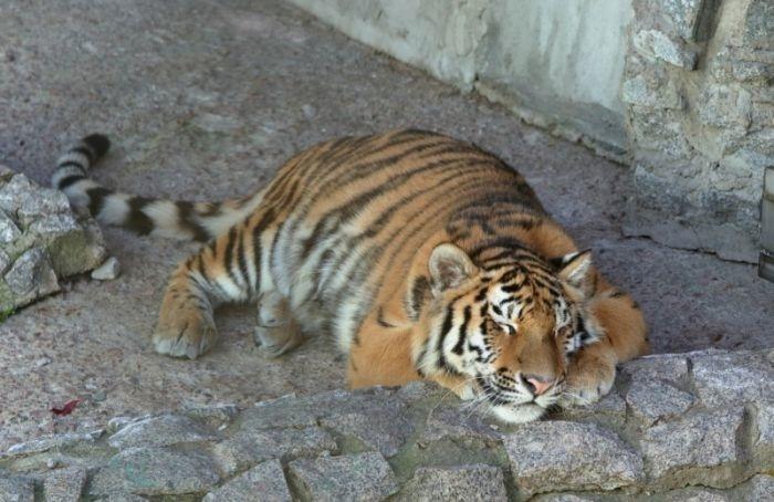 Ленинградский зоопарк представил новую тигрицу поимени Виола