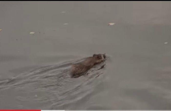 Спасатели вытащили енотовидную собаку изОбводного канала